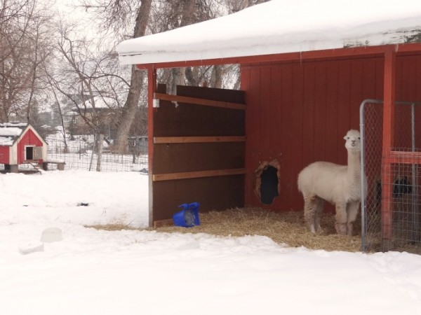 red barn and pete the alpaca